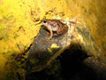 Painted Narrow Mouthed Frog, or Microhyla Butleri in Jasmine Valley